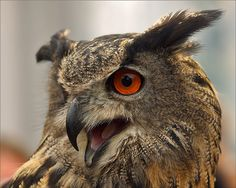 Meet The Dutch Owl Who Loves To Land On Peoples Heads Owl Bird - Meet the cuddly owl who loves landing on people