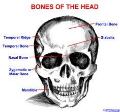 Bones Of Head Picture - Human Anatomy Body Anatomy Bones, Brain Anatomy, Human Body Anatomy, Anatomy Study, Bones Of The Head, Drawing The Human Head, Knife Patterns, Head Head, Face Sketch