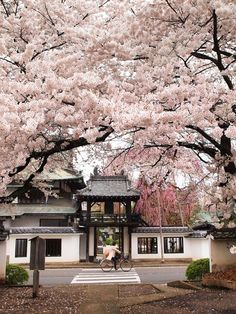 RE: Sendai 仙台, Miyagi prefecture 宮城県, Japan. Cherry Blossoms of Shouonji temple, Oh The Places You'll Go, Places To Travel, Places To Visit, Travel Destinations, Beautiful World, Beautiful Places, Beautiful Moments, Japan Landscape, Miyagi