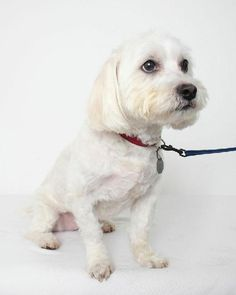 Can we help him finding a loving home?  http://www.doggielife.com/tobi-d150063/dogs/CQY27B #dogs #puppies #havanese