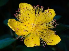 cure of St. John's wort acts as a mild sedative treat mild forms of depression , anxiety and nervousness, tea wort is used to treat respiratory diseases Big Plants, Free Plants, Types Of Plants, Flowering Plants, Garden Plants, Planting Vegetables, Planting Seeds, Planting Flowers, Summer Flowers