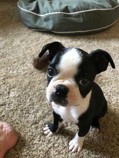 Pokey Little Puppy, Little Puppies, Cute Puppies, Dogs And Puppies, Cute Dogs, Dog Love, Puppy Love, Boston Bull Terrier, Baby Animals