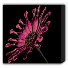 """$49.99-$64.99 Complete your home decor with this 12"""" x 12"""" African Daisy Flower Canvas Print. his easy to hang canvas art will add color and dimension to any room. Artwork is full color digitally printed onto white canvas for unmatched color and clarity.  View our full line of Quotes on Canvas, Kids on Canvas prints and Growth Charts, Seasonal Banners and Garden Flags at http://www.amazon.com/sho ..."""
