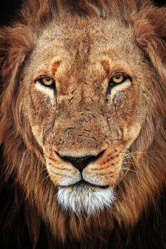 animalsarehype:  (via 500px / The King's Face by Xenedis Photography)