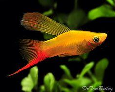 Hifin Swordtail Platy, Featured item. #hifin #swordtail #platy #fish #petfish…