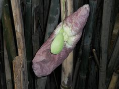 papo de peru fechado