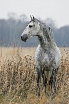 Dreamy Dapple Grey horse, tall grass misty morning.