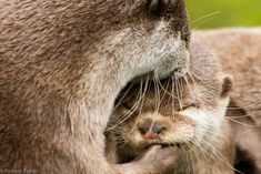 Otter Pair Share a Moment - August 2011 Animals And Pets, Baby Animals, Baby Sea Otters, Otter Pops, Cute Kawaii Animals, River Otter, Funny Cute, Animal Pictures, Creatures