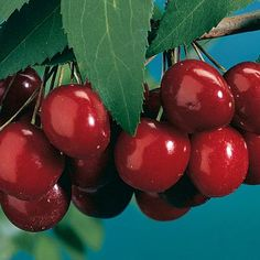 A cherry tree will bear abundant crops of cherries and beautify your yard. At Stark Bro's we offer two types of cherry trees: pie cherries and sweet cherries. Bing Cherries, Sweet Cherries, Growing Cherry Trees, How To Grow Cherries, Japanese Beetles, Pork Stew, Plum Tree, Stone Fruit, Fruit Garden
