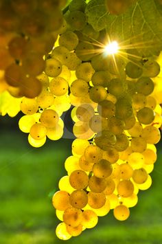 Yellow grapes growing on vine in bright sunshine by Elena Elisseeva - Sundiamond