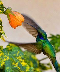 Hummingbird via Living Life at www.Facebook.com/KimmberlyFox.39