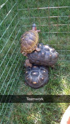 Awww ... sooo cute!  :) Land Turtles, Baby Sea Turtles, Cute Turtles, Turtle Cage, Tiny Turtle, Tortoise House, Tortoise Turtle, Cute Wild Animals, Super Cute Animals