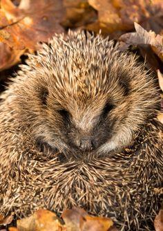 Igel fühlen sich im Laubhaufen gut aufgehoben. Wildlife, Nature, Animals, Outdoor, Cat Food, Yard Maintenance, Vet Office, Wild Animals, Outdoors