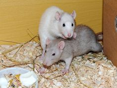 How Big Can Giant Rats Grow? Scientist Says They Can Grow Bigger Than Cows