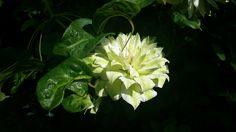 Clematis Sen-no-Kaze. The blooms change from green to cream with green stripes. Photo: Dagmara Walkowicz