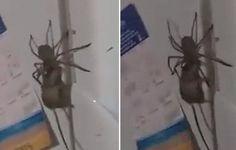 Over een paar dagen is het Halloween. Maar nu al gaat een griezelig beeld de wereld rond: dat van een gigantische spin die een muis wegsleurt.