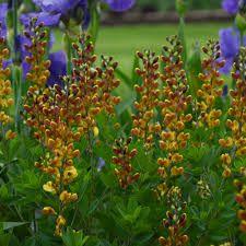 cherries jubilee baptisia - Google Search Yellow Plants, Yellow Flowers, Proven Winners, Baptisia Plant, Cherries Jubilee, Flower Garden Design, Jubilee, Perennials, Red Plants