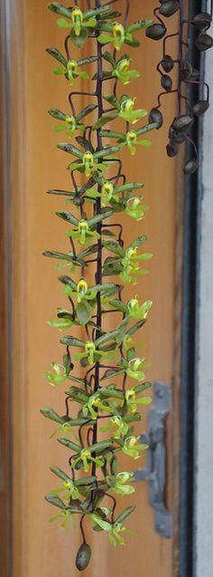 Cirrhaea saccata by douneika, via Flickr