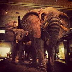 Akeley Hall of African Mammals  l  Photo by poopiej