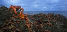 Red Crab Migration, Christmas Island, Indian Ocean