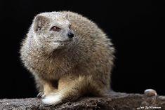 Vosmangoest - 0131101 Mongoose, Polar Bear, Animals, Animales, Animaux, Animal, Animais