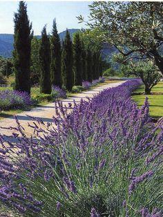 Provence - Colors of Provence - Lavender - L'allée aux lavandes - The lavanda way http://en.labastidedemarie.com/