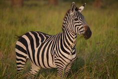 Beautiful Zebras in Africa Zebras, Africa, Adventure, Pictures, Animals, Beautiful, Photos, Animales, Animaux