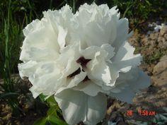купить  морозостойкое растение пион рока,оптом семена пиона рока,интернет магазин пиона рока Овощи, Растения