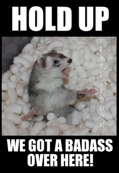 #ferrets #cute #animals #ferret #funny #for kids #forever #awesome #home #love…