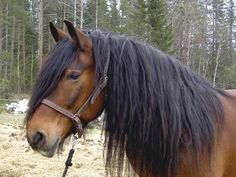 North Swedish horse, Nordsvensk mare