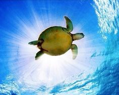 Hawaii Green Sea Turtle (Chelonia Mydas) An Endangered Species Canvas Art - M Swiet Productions Design Pics x Animal Photography, Nature Photography, Cool Pictures, Beautiful Pictures, Ocean Pictures, Turtle Love, Turtle Bay, Mundo Animal, Underwater World
