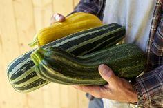 Harvesting squash @foragersnyc  farm