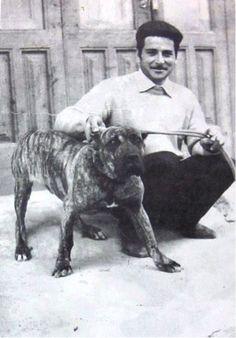 A classic butcher's dog, the Sicilian Branchiero is all but extinct today. Modern Molosser  |  www.modernmolosser.com