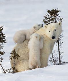 ADORABLE photos of polar bear cubs with their mama - Eisbären, Eulen &Wölfe - Animals Wildlife Photography, Animal Photography, Cute Baby Animals, Funny Animals, Mother And Baby Animals, Baby Polar Bears, Bear Cubs, Grizzly Bears, Tiger Cubs