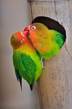 Fisher's love birds by Luc Van der Biest)