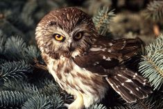 Northern Saw-whet Owl (this is where you hear the sounds)