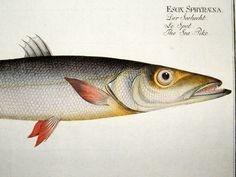 bloch-c1785-folio-hand-colored-antique-fish-print.-sea-pike-389-[2]-44210-p.jpg 1,050×788 pixels