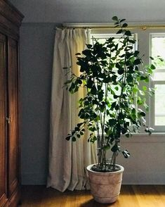 💚🌱 just discovered them recently - without a doubt my new favorite plant to grow indoors! Large Indoor Plants, Indoor Trees, Outdoor Plants, Outdoor Rooms, Ficus, Common House Plants, Growing Plants Indoors, Inside Plants, Plant Aesthetic