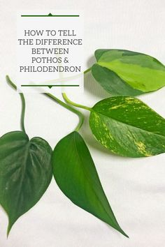 difference between pothos and philodendron - Linda Hill - Re-Wilding Golden Pothos Plant, Pothos Plant Care, Pothos Vine, Plant Cuttings, Propagation, Best Indoor Plants, Outdoor Plants, Hanging Plants, Potted Plants
