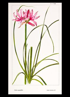 Botanical Prints + Natural History Prints from StudioBotanika by Lilian Snelling