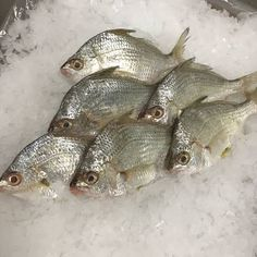 Image result for brim fish Shades Of Black, Black And Grey, Fishing Techniques, Goddess Of Love, White Meat, Habitats, Seafood, Image, Sea Food