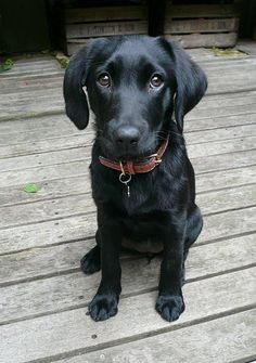 Who could resist this sweet face?  There's nothing sweeter than a Labrador.  (Black Lab Puppy)