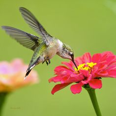 Waiting in the Wings Hummingbird Square by Christina Rollo. Closeup of a beautiful Ruby-Throated Hummingbird in flight with wings spread high, feeding on a sweet pink zinnia flower with green background in square format.   Buy art prints online at:  www.rollosphotos.com