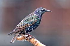Common Starling - Étourneau Sansonnet by Roger Dan on 500px