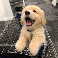 Astonishing Everything You Ever Wanted to Know about Golden Retrievers Ideas. Glorious Everything You Ever Wanted to Know about Golden Retrievers Ideas. Cute Little Animals, Cute Funny Animals, Funny Dogs, Dumb Dogs, Cute Dogs And Puppies, Doggies, Corgi Puppies, Corgi Husky, Pomeranian Puppy