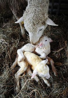 Ewe, momma sheep, and her lambs Cute Baby Animals, Farm Animals, Animals And Pets, Beautiful Creatures, Animals Beautiful, Sheep And Lamb, Baby Sheep, Tier Fotos, Fauna