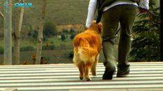 Köpeğtimi Eğitiyorum - 6. Bölüm - TRT Okul Corgi, Youtube, Corgis, Youtubers, Youtube Movies