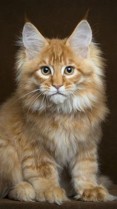 38 Trendy cats and kittens breeds maine coon dogs Pretty Cats, Beautiful Cats, Animals Beautiful, Cute Animals, Baby Animals, Funny Animals, Kittens Cutest, Cats And Kittens, Gato Grande