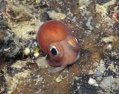 A juvenile bobtail squid on the bottom of the sea floor off the west coast of Scotland,1,400 metres below the surface. A review by British scientists this year revealed just how little we know about life in the deep ocean.