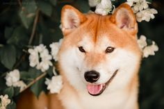 By Kseniya Ressy. Greenland Dog, All Types Of Dogs, German Spitz, American Akita, Japanese Spitz, Alaskan Malamute, Samoyed, Shiba Inu, Beautiful Dogs